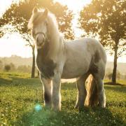 Gezinspony/pony voor klein volwassene
