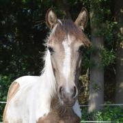 Mooie 1 Jarige pony te koop!
