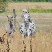 Diverse nmprs mini paardjes
