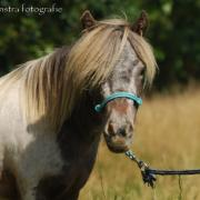 Mini Appaloosa merrie (6 jr.) te koop