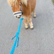 Lieve, knappe shetlander/mini paardje merrie