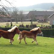 Te Koop Twee voskleurige Shetland merries