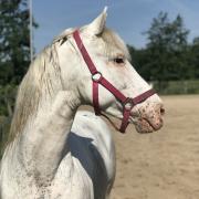 Appaloosa d pony