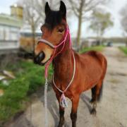 Leuke pony aangeboden voor ervaren bijrijder/verzorger