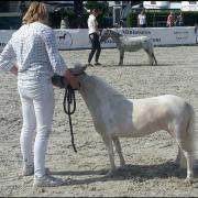 Te koop Amerikaans miniatuur paardje palomino pinto