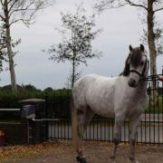 Betuigde welsh B Pony