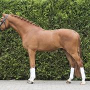 te koop talentvolle d pony