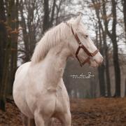 Knappe cremello merrie D-pony, 7 jaar