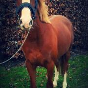 D pony merrie