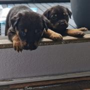 Mix rotweiler pups waakhond