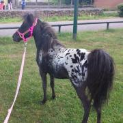 Paard/pony scheren omgeving Oss/Den Bosch