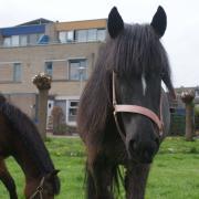 Drachtige Fell pony.