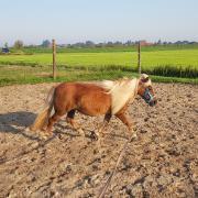 Lieve pony zoekt nieuw thuis