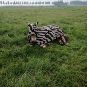 Bucas Buzz Off Zebra Full Neck vliegendeken maat 183