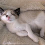 Knappe Ragdoll kitten!