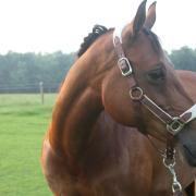Knappe Welsh E pony 14 jaar