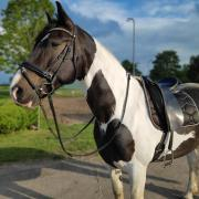 Prachtig dressuur paard (ruin)