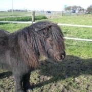 Gezocht: Stamboek grote maat Shetland Pony om mee te mennen