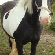 Paard gratis beschikbaar ( bonte tinker)
