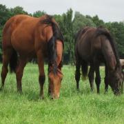 Weidegang jonge paarden, enters, twenters en driejarigen