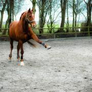Aangeboden Lease paard, Leaser/Bijrijder gezocht