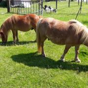 Gezocht: weiland/paddock voor 2 shetlandponies