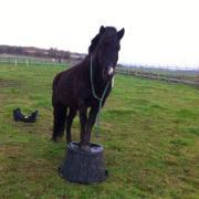 Verzorgster/bijrijdster gezocht voor kleine pony - WASSENAAR