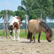 GEZOCHT: Leuke e pony of paard!
