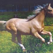Dressuurgefokte E pony jaarling