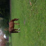 NRPS pony te koop