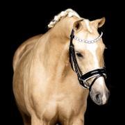 4 jarige Palomino Welsh D pony