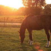 Forever home gezocht voor 27 jarige nrps pony