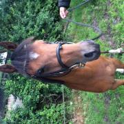 ## C pony merrie 4 jaar ##