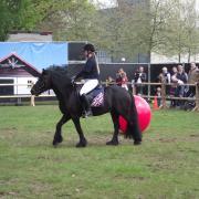 Fell pony Misty van de Wulpenhoeve