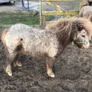 Prachtige Appaloosa Hengst tweejarige Shetlander