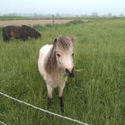 Prachtige gouden jaarling mini ( miniatuurpaard)