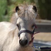 Amha/nmprs buckskin miniatuurpaard