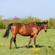 Unieke kans:  weiland met paddock en stalling