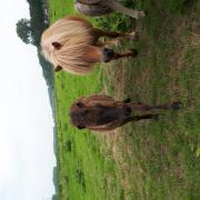 Superlief shetlander merrieveulen te koop!
