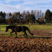 Prachtige NWR E-pony ruin, 4,5 jaar, dressuur