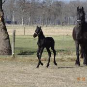 Bijrijder Fries paard