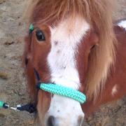 -Verzorg/Bijrijd paard gezocht-