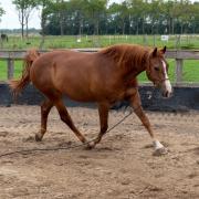 Lief weidemaatje, gezelschaps/grondwerk paard