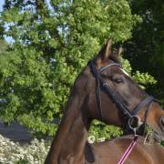 Lease paard aangeboden