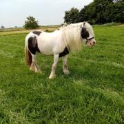 Tinker merrie D-pony
