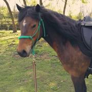 paard en pony aangeboden - halve stal