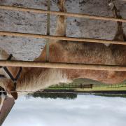 te koop 1 jarige haflinger hengst