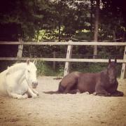 Gezocht: stalhulp voor onze paarden aan huis (1 uur/dag)