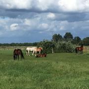 Pensioen plek, weiland met schuilstallen omg. Utrecht
