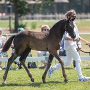D-pony hengstenveulen NWR / WPBR